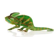 хамелеон Стоковое фото RF
