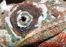 хамелеон Стоковая Фотография