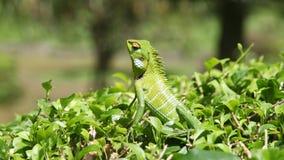 Хамелеон в зеленом кусте Стоковая Фотография RF