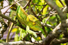 Хамелеон желтого зеленого цвета Стоковые Фотографии RF