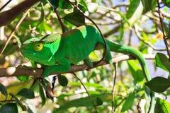 Хамелеон закамуфлированный зеленым цветом стоковые фотографии rf