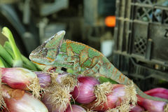 Хамелеон покрашенный зеленым цветом Стоковое Изображение RF
