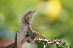 хамелеон, дракон Стоковые Фото