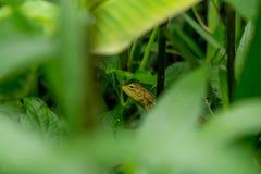 хамелеон тайский Стоковая Фотография