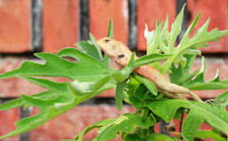 хамелеон тайский Стоковое фото RF
