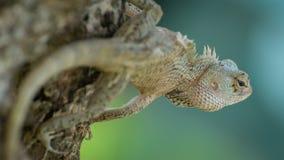 Хамелеон Цейлона на дереве Стоковое Фото