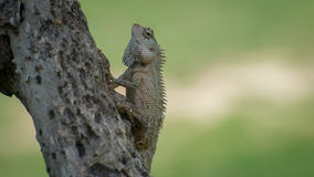 Хамелеон Цейлона на дереве Стоковая Фотография RF