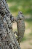 Хамелеон Цейлона на дереве Стоковая Фотография