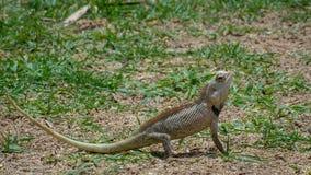 Хамелеон Цейлона на траве Стоковые Фотографии RF