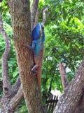 хамелеон, ящерица дерева Стоковое фото RF