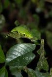 Хамелеон Perinet, gastrotaenia Мадагаскар Calumma стоковое фото rf