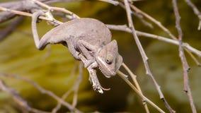 Хамелеон Perinet, gastrotaenia Calumma вид  стоковые фотографии rf
