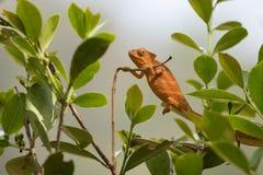 Хамелеон Perinet, gastrotaenia Calumma стоковое фото