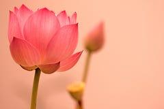 Цветок лотоса   Стоковые Фотографии RF