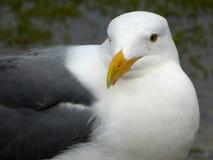 Западная чайка (occidentalis Larus) стоковые фотографии rf