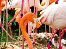 Характеристика фламинго на парке дикого животного Шанхая Стоковые Изображения RF