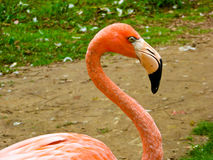 Характеристика фламинго на парке дикого животного Шанхая Стоковая Фотография RF