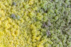 Характеристики колонии грибка и водорослей в чашка Петри для образования стоковое фото