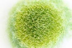 Характеристики колонии грибка и водорослей в чашка Петри для образования стоковые изображения rf