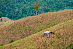 Хата среди фермы мозоли в провинции Nan Стоковое Изображение