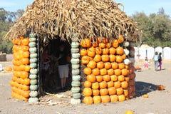 Хата тыквы в заплате тыквы во время хеллоуина, pepo Cucurbita Стоковая Фотография RF