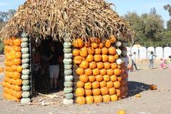 Хата тыквы в заплате тыквы во время хеллоуина, pepo Cucurbita Стоковое фото RF