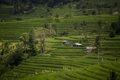 Хаты в террасе риса Jatiluwih в Индонезии Стоковые Изображения RF