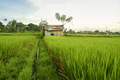 Хаты работника террасы риса на поле в Бали Стоковое Изображение