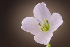 Халат дамы cuckooflower Pratensis Cardamine отпочковываются и pe цветка Стоковые Фото