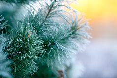 Хвойное дерево в изморози и снеге стоковая фотография rf