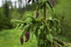 Хвойное дерево Стоковая Фотография