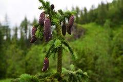 Хвойное дерево Стоковые Фотографии RF
