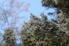 Хвойное дерево украшенное с гололедью Стоковые Изображения