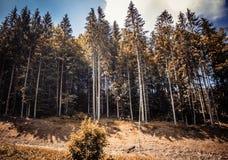 Хвойные деревья в горах величественно стоковые изображения rf
