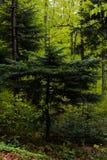 Хвойные деревья в лесе Стоковая Фотография