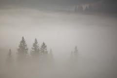 Хвойные деревья в сильном тумане Стоковые Изображения RF