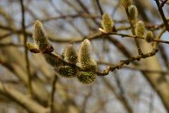 Хворостина весной Стоковые Фотографии RF