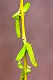 хворостина весны Стоковое Изображение