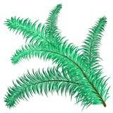 Хворостина вечнозелёного растения Стоковое Изображение RF