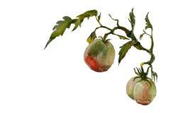 Хворостина виньетки сада акварели зрелая и зеленая томата с разрешением Стоковые Фото