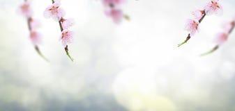 Хворостина вишневого дерева Стоковые Изображения RF