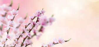 Хворостина вишневого дерева Стоковые Изображения