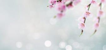 Хворостина вишневого дерева Стоковая Фотография RF