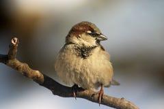 хворостина воробья птицы Стоковые Фото