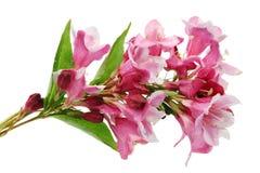 Хворостина декоративного кустарника wiggon с розовый увядать цветет стоковая фотография