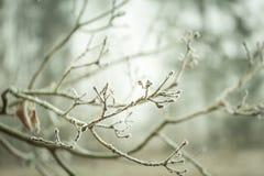 Хворостина дерева с гололедью Стоковые Изображения