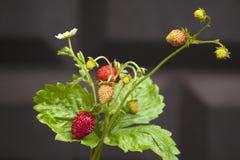 Хворостина красных сладких сочных диких клубник на предпосылке лета стоковые фото