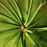 хворостина крупного плана coniferous Стоковые Изображения