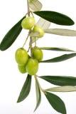 хворостина оливок Стоковые Изображения RF