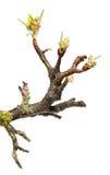 хворостина Плодоовощ-дерева с бутонами цветка Стоковое фото RF